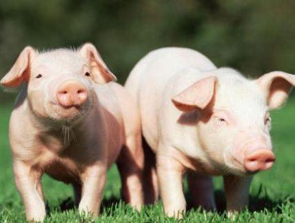 """猪降价 猪肉重返""""2""""时代"""